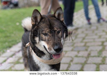 Shikoku dog sticking its tongue out on a walk