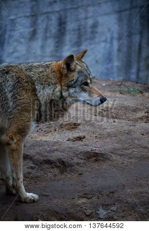 Lonely wolf in the dusk in the forest (in dark blue tones selective focus on the wolf head)