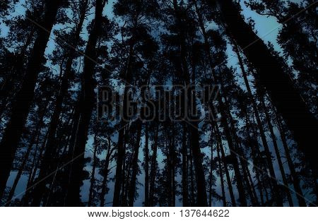 Mysterious forest with gloomy silhouettes of pines in the dusk (in dark blue tones)