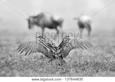 Ruppell's  Griffon Vulture (Gyps rueppellii) in african natura park