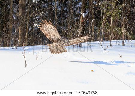 Great Grey Owl in flight in winter
