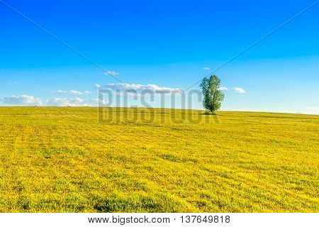 Lonely tree on the yellow field in coutryside