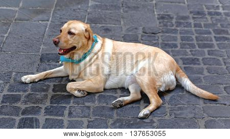 Yellow Labrador Retriever With Bandana Laying at Cobblestones