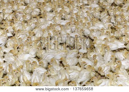 Farm of Small White Turkey Chicks