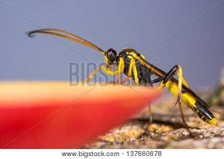Amblyteles armatorius ichneumon wasp. Yellow and black parasitic wasp in the family Ichneumonidae on apple