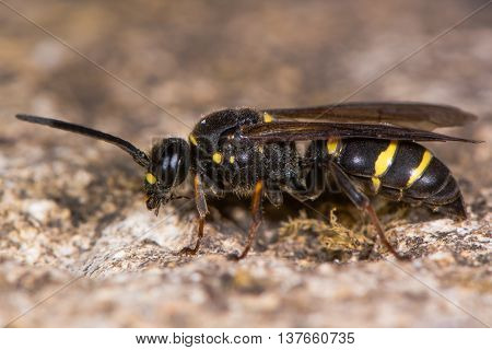 Digger wasp (Argogorytes mystaceus) preening. Black and yellow insect in the family Crabronidae