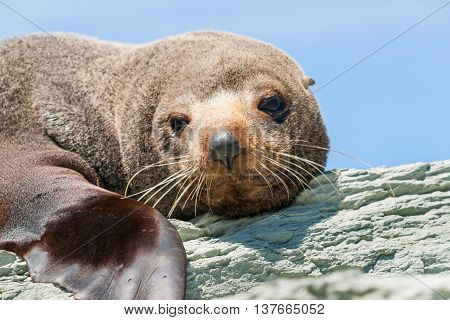 New Zealand Fur seal basking in warmth on rocky coastline ledge.