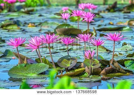 Water lily flower color presentation aligns with delicate petals bend and rise from leaves on lake and beautiful blooming