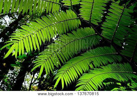 Sunlit green fern leaves in tropical forest  near Honolulu Hawaii USA.