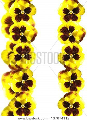 Beautiful floral pattern of yellow viola flowers isolated