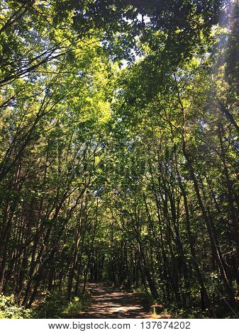Tall bright green trees shaltering a dirt path