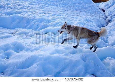 Dog Walking On Ice At Matanuska Glacier Alaska Usa