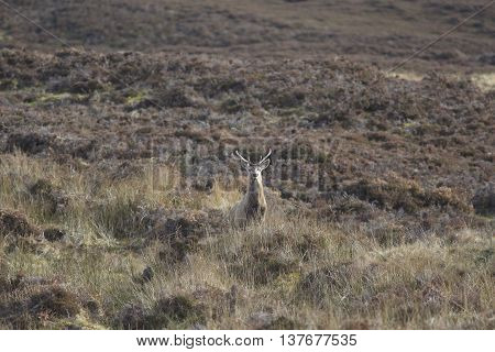 Camouflaged deer in Helmsdale in the Scottish Highlands