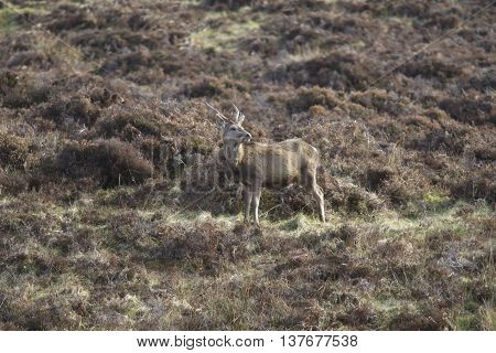 Wild Deer in the Scottish Highlands showing how camouflaged the animal is blending into its surroundings