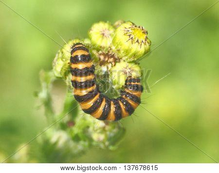 Orange Black caterpiller on a flower with blurd Green background