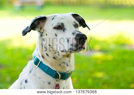 Young Dalmatian Dog