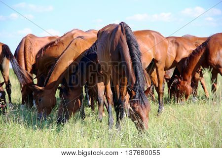 Thoroughbred gidran horses eating fresh green grass on the hungarian puszta