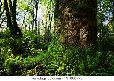 a picture of an exterior Pacific Northwest Vine maple tree with ferns