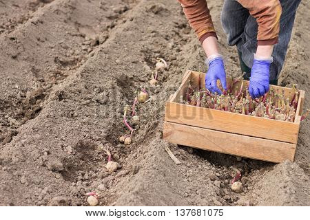 Hand In Glove Is Planting Potato Into The Ground