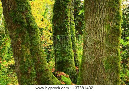 a picture of an exterior Pacific Northwest old growth Vine maple tree with moss