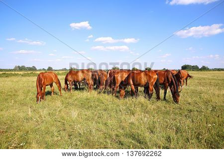Mares and foals graze on green grass rural scene in the background Herd of gidran horses eating fresh green grass summertime