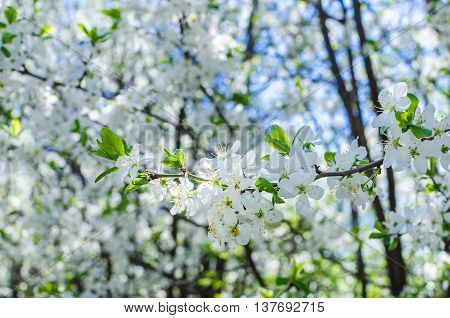 Branches Of White Flowers Cherry Blossoms In The Garden On A Sunny Day