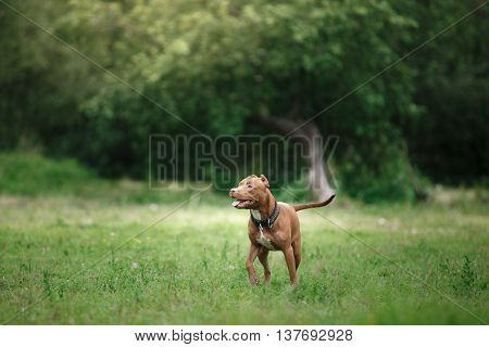 Pit Bull Terrier Dog In The Park