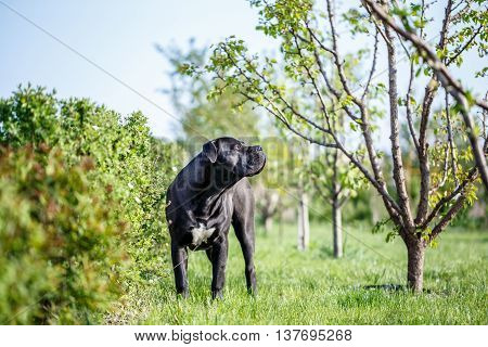 black South African Mastiff Boerboel dog outside