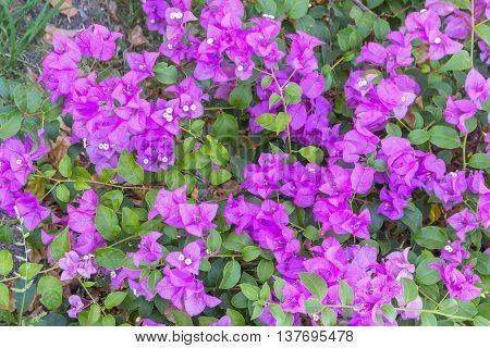 Bougainvillea flower purple, glabra Choisy beautiful natural in garden