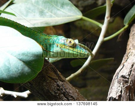 Young handsome green chameleon green flower behind