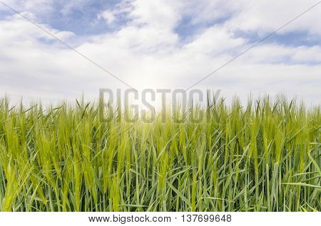 Green field of young grain crops against the sky. Close-up.