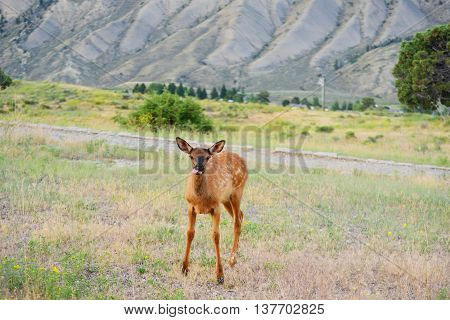 young elk walking in grass yellowstone national park