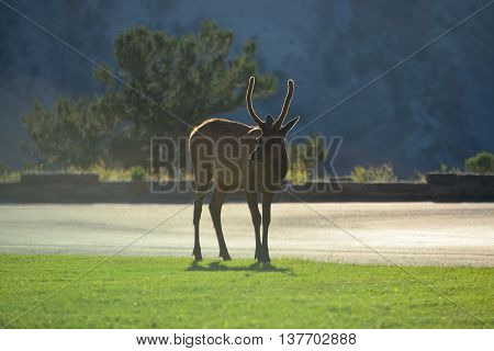 Elk With Rim Light