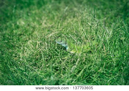 Green lizard hiding in the grass and looking