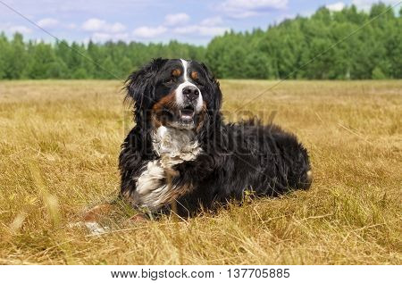 Bernese Mountain Dog (Berner Sennenhund) lying in the middle of a green lawn on a sunny summer day