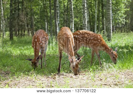 Wild spotted deer grazing at the edge of the forest on a sunny summer day