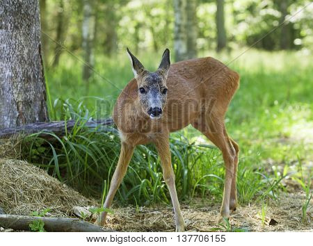 Wild roe deer walking through the woods on a sunny summer day