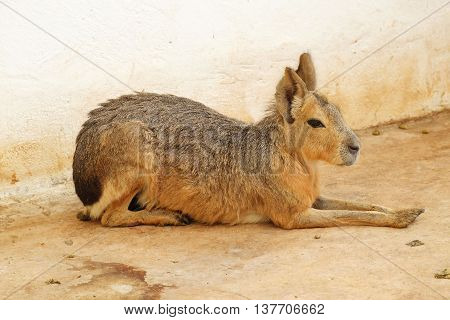 Patagonian Mara on the ground in the zoo