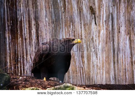 Bald Eagle sitting and resting on the ground