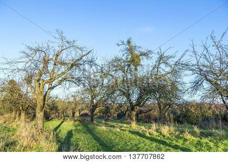 empty apple tree in autumn under blue sky
