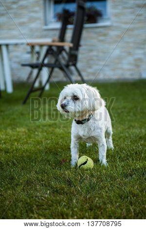 Maltese dog with tennis ball in the garden
