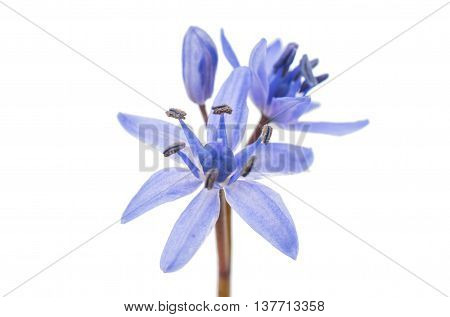 beauty flower  Snowdrop blue on a white background