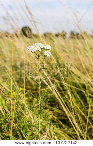 Achillea Millefolium, Yarrow, Common Yarrow.