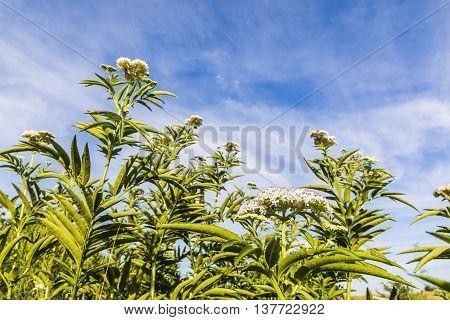 Inflorescence Sambucus Ebulus L..