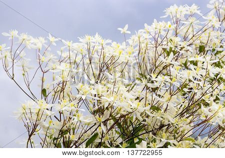 Clematis paniculata (Clematis paniculata). The small white flowers close-up