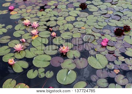 Water lily (Nymphaea) aquatic plants with large floating on the water, leaves and branches
