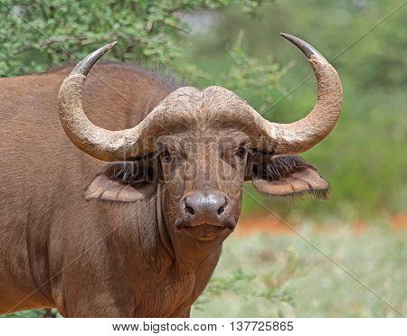 Closeup portrait of an African Buffalo in Southern African savanna