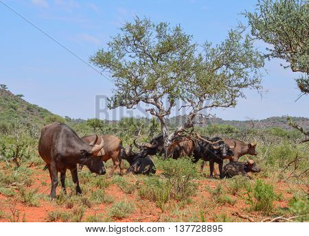 A family group of African Buffalo in the Southern African savanna