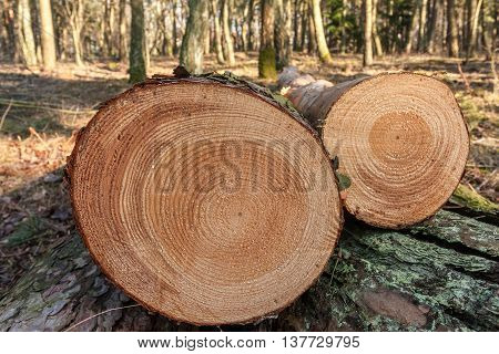 Cut trees in the forest. Visible tree rings.