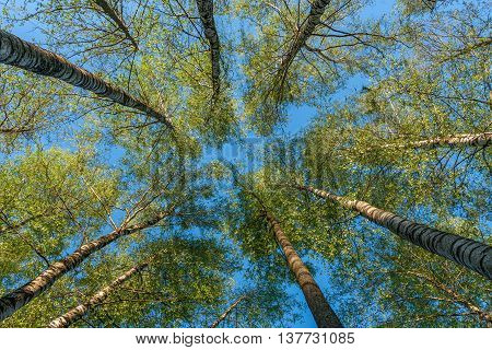 Trees in the forest - the crown of leaves against the sky.